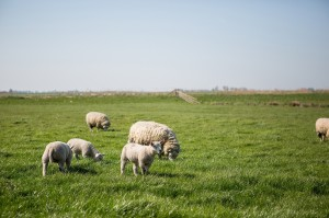 Schapen in de wei